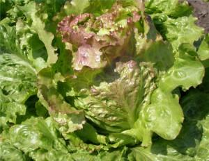 Салат посевной головчатый  сорт Дивограй