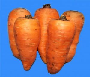 Морковь посевная линия Факел