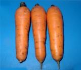 Морковь посевная линия Махаон