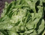 Салат посевной головчатый  сорт Ольжич