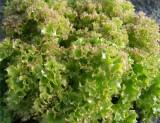 Салат посевной сорт Шар малиновий