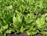 Салат посевной сорт Скарб