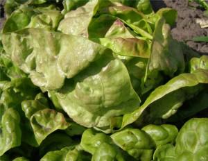 Салат посевной головчатый  сорт Смуглянка