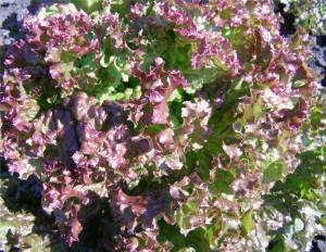 Салат посевной сорт Спалах