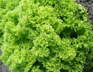 Салат посевной сорт Золотий Шар