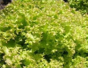 Салат посевной сорт Зорепад